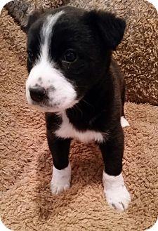 Labrador Retriever Mix Puppy for adoption in New Oxford, Pennsylvania - Leonard