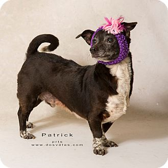 Dachshund/Terrier (Unknown Type, Medium) Mix Dog for adoption in Riverside, California - Patrick