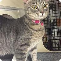 Adopt A Pet :: Milky Way - Merrifield, VA