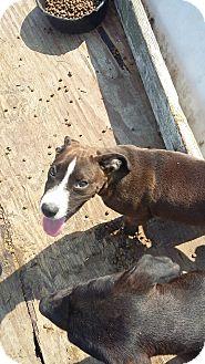 Labrador Retriever Mix Puppy for adoption in Hortense, Georgia - Blackie