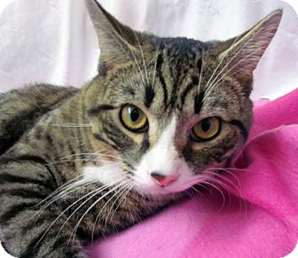 Domestic Shorthair Cat for adoption in Erwin, Tennessee - Bali