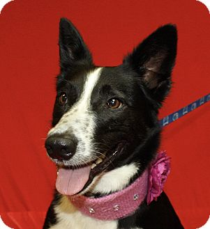 Blue Heeler Mix Dog for adoption in Jackson, Michigan - Clover