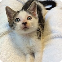 Adopt A Pet :: White & tabby male kitten PPB - Manasquan, NJ