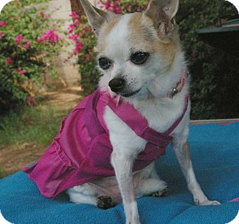 Chihuahua Mix Dog for adoption in Phoenix, Arizona - Chica