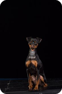 Miniature Pinscher Mix Dog for adoption in kennebunkport, Maine - Oliver - Courtesy Post