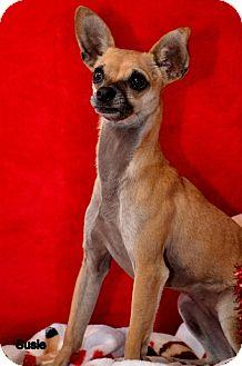 Chihuahua Mix Dog for adoption in Okeechobee, Florida - Suzie