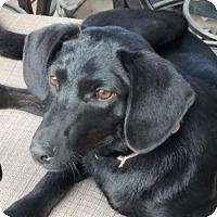 Adopt A Pet :: Chrissy - Danbury, CT