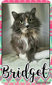 Domestic Longhair Cat for adoption in Edwards AFB, California - Bridget