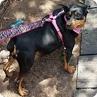 Adopt A Pet :: Kimber - Hurst, TX