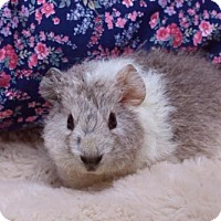 Adopt A Pet :: SILK - Boston, MA
