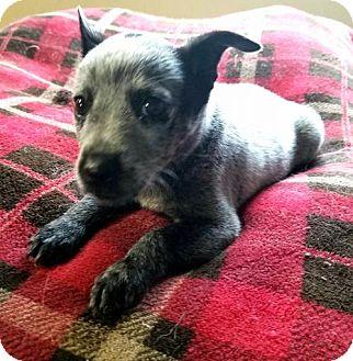 Australian Cattle Dog/Australian Cattle Dog Mix Dog for adoption in Scottsboro, Alabama - Roxie