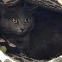 Adopt A Pet :: Piper (front declawed) - Warren, MI