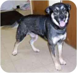 Keeshond/Labrador Retriever Mix Dog for adoption in Osseo, Minnesota - Reno