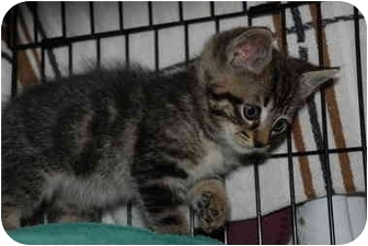 Domestic Shorthair Kitten for adoption in Putnam Hall, Florida - Kumar
