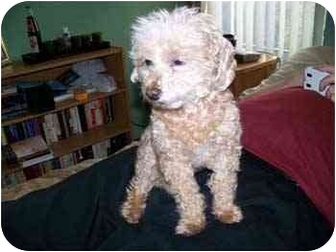 Poodle (Toy or Tea Cup) Dog for adoption in Melbourne, Florida - AUGIE
