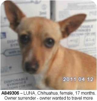 Chihuahua/Basenji Mix Dog for adoption in Edmonton, Alberta - Luna
