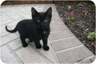 Domestic Shorthair Kitten for adoption in Sheboygan, Wisconsin - Casey