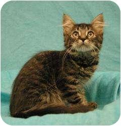 Domestic Shorthair Kitten for adoption in Sacramento, California - Punchy