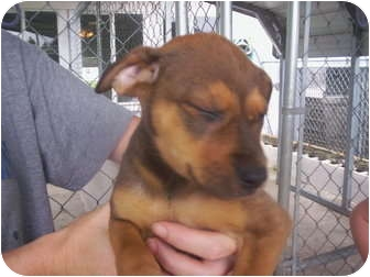 Shepherd (Unknown Type) Mix Puppy for adoption in Madison, Florida - Tracy