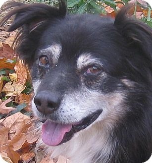 Border Collie/Australian Shepherd Mix Dog for adoption in Hillsboro, Ohio - Shadow