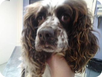 Cocker Spaniel Dog for adoption in Lexington, Kentucky - Dallie