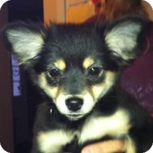 Chihuahua/Pomeranian Mix Puppy for adoption in Naperville, Illinois - Punzi