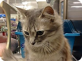 Domestic Shorthair Cat for adoption in Foothill Ranch, California - Tropical