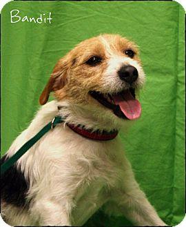 Jack Russell Terrier Mix Puppy for adoption in Ogden, Utah - Bandit