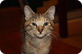 Domestic Shorthair Cat for adoption in Little Falls, New Jersey - Allie (LE)