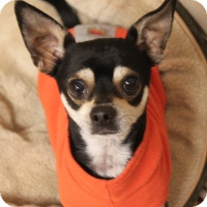 Chihuahua Mix Dog for adoption in Naperville, Illinois - Donald