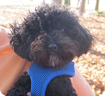 Poodle (Toy or Tea Cup) Puppy for adoption in Washington, D.C. - Kandy Kane 5 LBS