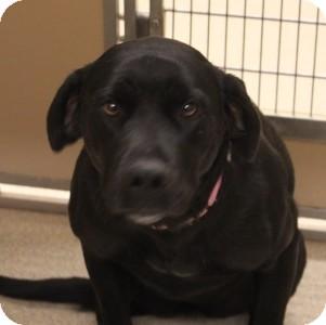 Labrador Retriever Mix Dog for adoption in Naperville, Illinois - Suzie