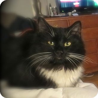 Domestic Longhair Cat for adoption in Weare, New Hampshire - Ozzie