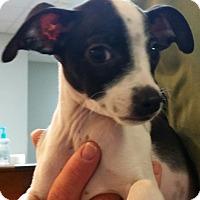 Adopt A Pet :: Doodles - Phoenix, AZ