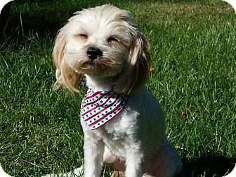 Miniature Poodle Mix Dog for adoption in West Allis, Wisconsin - Teddy