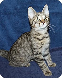 Domestic Shorthair Kitten for adoption in Rochester, New York - Mia