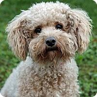Adopt A Pet :: Dave - Port Washington, NY