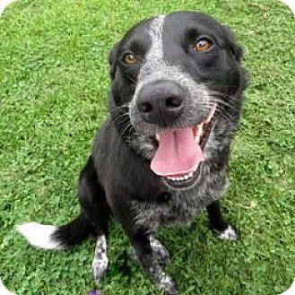 Border Collie/Labrador Retriever Mix Dog for adoption in Janesville, Wisconsin - Pepper