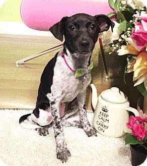Labrador Retriever/Collie Mix Puppy for adoption in Castro Valley, California - Jerri