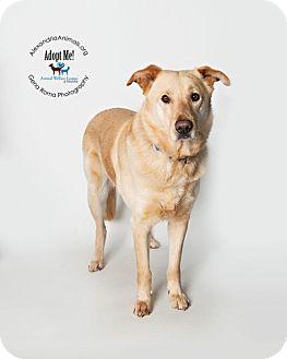Golden Retriever Dog for adoption in Alexandria, Virginia - Buddy