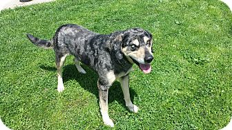 Catahoula Leopard Dog/Mountain Cur Mix Dog for adoption in Moberly, Missouri - Blue