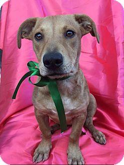 Corgi Mix Puppy for adoption in San Diego, California - ROSIE