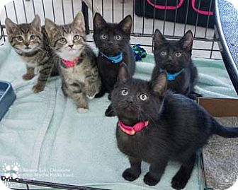 Domestic Shorthair Kitten for adoption in Merrifield, Virginia - Ice T