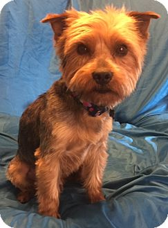 "Australian Terrier Mix Dog for adoption in San Leandro, California - Reginald (""Reggie"")"