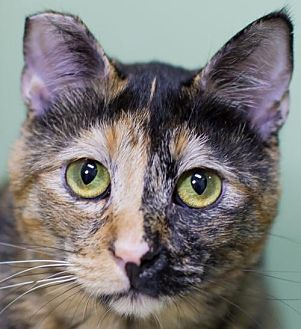 Domestic Shorthair Cat for adoption in Auburn, California - Fanny