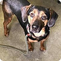 Adopt A Pet :: HONEY-BUN - Cadiz, OH