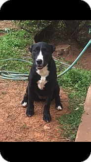 American Pit Bull Terrier/Border Collie Mix Puppy for adoption in oklahoma city, Oklahoma - Delilah