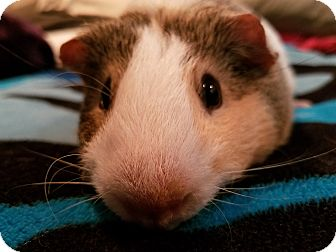 Guinea Pig for adoption in Harleysville, Pennsylvania - Crosby