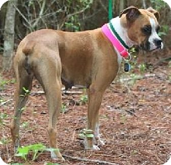 Boxer Dog for adoption in Houston, Texas - KELLY