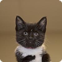 Adopt A Pet :: Skunk - Medina, OH